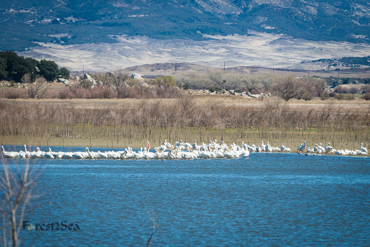 American White Pelicans at Lake Henshaw